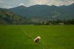 Vietnamesisk dam som arbetar på risfält Arkivbild