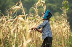 Vietnamesisk kvinna som arbetar på havrefält i nord av Vietnam arkivbild