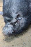 Vietnamesisk pig Royaltyfria Bilder