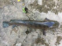Vietnamesisk snakehead eller randig snakeheadfisk, Channa striata Arkivfoto