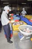 Vietnamesiska arbetare sorterar pangasiusfisken, når de har klippt i en havs- bearbetningsanläggning i den mekong deltan Fotografering för Bildbyråer