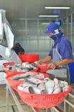 Vietnamesiska arbetare sorterar pangasiusfisken, når de har klippt i en havs- bearbetningsanläggning i den mekong deltan Royaltyfri Fotografi
