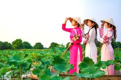 Vietnamesiska kvinnor samlar lotusblomman arkivfoton