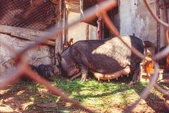 vietnamesiska pigs Arkivfoto