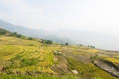 Vietnamesiska ris terrasserade risfältfältet i plockningsäsong Terrasserade risfältfält används brett i ris-, vete- och kornlantb Royaltyfria Bilder