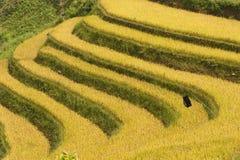 Vietnamesiska ris terrasserade risfältfältet i plockningsäsong Terrasserade risfältfält används brett i ris-, vete- och kornlantb Arkivfoton