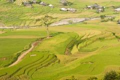 Vietnamesiska ris terrasserade risfältfältet i plockningsäsong Terrasserade risfältfält används brett i ris-, vete- och kornlantb Fotografering för Bildbyråer