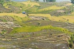 Vietnamesiska ris terrasserade risfältfältet i plockningsäsong Terrasserade risfältfält används brett i ris-, vete- och kornlantb Arkivbild