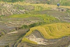 Vietnamesiska ris terrasserade risfältfältet i plockningsäsong Terrasserade risfältfält används brett i ris-, vete- och kornlantb Royaltyfri Fotografi