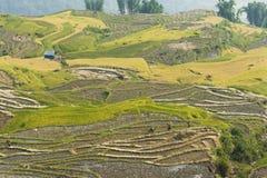 Vietnamesiska ris terrasserade risfältfältet i plockningsäsong Terrasserade risfältfält används brett i ris-, vete- och kornlantb Arkivfoto