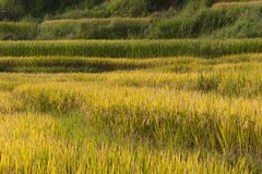 Vietnamesiska ris terrasserade risfältfältet i plockningsäsong Terrasserade risfältfält används brett i ris-, vete- och kornlantb Royaltyfria Foton