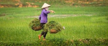 vietnamesiskt kvinnaarbete för ricefield Arkivbilder