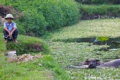 Vietnamien avec Buffalo d'eau de natation Photographie stock libre de droits