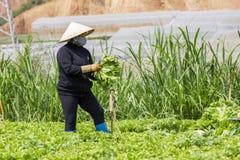 Vietnamita che lavora al campo delle verdure Fotografie Stock Libere da Diritti