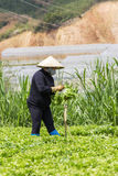 Vietnamita che lavora al campo delle verdure Immagine Stock Libera da Diritti
