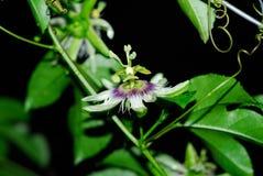Vietnamita de la flor de la fruta de la pasión del día del chanh de Hoa imagenes de archivo