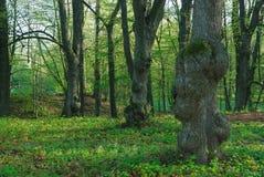 Vieux arbres Image libre de droits