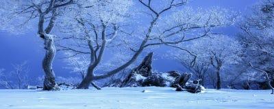 Vieux arbres dans la neige photos libres de droits