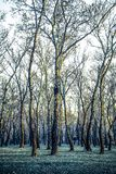 Vieux arbres de bouleau argenté en hiver avec les branches nues, Croatie image libre de droits