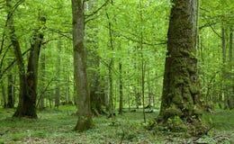 Vieux arbres de tilleul à la forêt de sumertime photographie stock libre de droits