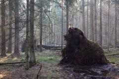 Vieux arbres géants décomposés en brume de matin de chute Images stock