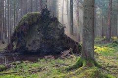 Vieux arbres géants décomposés en brume de matin de chute Photos libres de droits