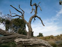 Vieux arbres secs près de Brighton Australia Image stock