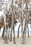 Vieux arbres sur la plage, Estepona, Espagne Photographie stock libre de droits