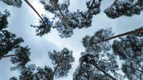 Vieux balancement de pinery de pins en vent contre le ciel Troncs des arbres balançant, sifflement du vent dans les branches banque de vidéos