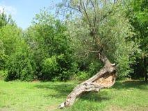 Vieux bois dans le marais Photographie stock libre de droits