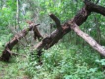 Vieux bois dans le marais Images stock