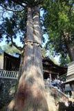 Vieux cèdre japonais dans le tombeau de Mitsumine photographie stock