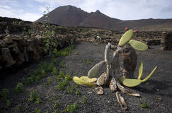 Vieux cactus photos libres de droits