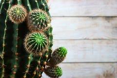 Vieux cactus vert-foncé avec de jeunes pousses fraîches Photo stock