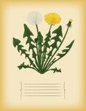 Vieux calibre de papier avec la fleur de pissenlit. Vecteur Photographie stock