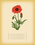 Vieux calibre de papier avec la fleur rouge de pavot. Vecteur Photographie stock