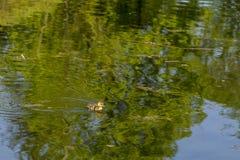 Vieux caneton d'une semaine minuscule adorable de Mallard nageant dans l'étang photo stock