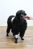 Vieux caniche noir de 9 ans dans une clinique vétérinaire après élimination de la tumeur sur la peau dans le secteur arrière Sur  Photos libres de droits