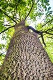 Vieux chêne photo libre de droits