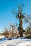 Vieux chêne Image libre de droits