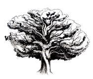 Vieux chêne illustration de vecteur