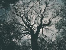 Vieux chêne Photos libres de droits