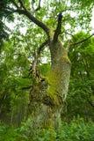 Vieux chêne. image libre de droits