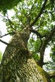 Vieux chêne. photo libre de droits
