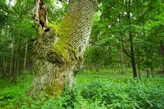 Vieux chêne. photos libres de droits