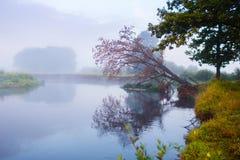 Vieux chêne accrochant au-dessus de la surface de l'eau Matin brumeux photos stock