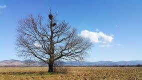 Vieux chêne avec le nid de cigogne Images libres de droits