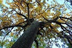 Vieux chêne avec un tronc puissant à un jour d'automne Bas point de tir photographie stock libre de droits