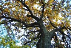 Vieux chêne avec un tronc puissant à un jour d'automne Bas point de tir photographie stock