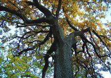 Vieux chêne avec un tronc puissant à un jour d'automne Bas point de tir images libres de droits